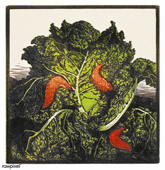 Three slugs on a cabbage by JJulie de Graag (1877-1924). Original from the Rijks Museum. Digitally enhanced by rawpixel. (Free Public Domain Illustrations by rawpixel) Tags: agriculture antique art artwork bug cabbage caterpillar damage drawing farm foliage fresh garden green handdrawn herbicide illustrated illustration insect juliedegraag nature old orange organic pdrijks pest plant publicdomain rijksmuseum sketch slug threeslugs vegetable vintage woodcut worm