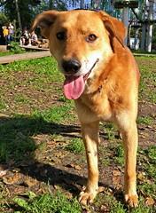 Дворняжка (sava-vava) Tags: lj дворняжка дворняжки животные собаки pooch dogs dog mongrel pet 2017 mobilephoto sr