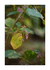 2018/11/24 - 9/18 photo by shin ikegami. - SONY ILCE‑7M2 / Lomography New Jupiter 3+ 1.5/50 L39/M (shin ikegami) Tags: 紫陽花 flower 花 マクロ macro 井の頭公園 吉祥寺 autumn 秋 sony ilce7m2 sonyilce7m2 a7ii 50mm lomography lomoartlens newjupiter3 tokyo sonycamera photo photographer 単焦点 iso800 ndfilter light shadow 自然 nature 玉ボケ bokeh depthoffield naturephotography art photography japan earth asia