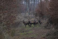 Deer (Péter Vida) Tags: deer photo woods stag temper natural december beautiful szarvasok természet gyönyörű erdő animal forest field wood landscape tree grass