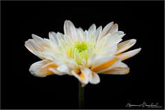 Crisanthenum (ermannobraghiroli) Tags: macro flower closeup fleur crisanthenum crisantemo fiore fiori