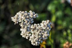 FIDO0103 (Friedhelm Dötsch) Tags: blümkes gruga blumen essen deutschland flowers germany