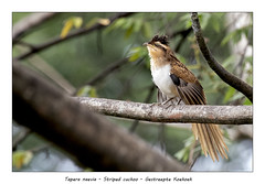 Striped cuckoo (Jan H. Boer, Nature photographer) Tags: taperanaevia stripedcuckoo gestreeptekoekoek birds cuckoos nature wildlife costarica turrúcares nikon d500 afsnikkor200500f56eedvr jan´sphotostream2018