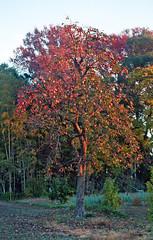Persimmon tree (odeleapple) Tags: olympus om2n zuiko autos 50mm solaris400 film persimmon morning tree