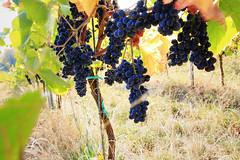 Wine saison is coming (IuBri) Tags: grapes wine nature sunny weinstrase germany wein trauben leaf niceweather mood bunt landscape rhinelandpalatinate pfalz