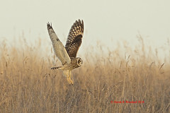 Short Eared Owl. Asio Flammeus. (Derek Woodard ( Formally Dellphotomad )) Tags: short eared owl seo birds bif asio flammeus