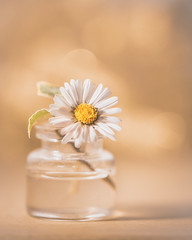 Autumn daisy (Ro Cafe) Tags: nikkor105mmf28 nikond600 stilllife littlebottle daisy closeup macro happy autumn bokeh