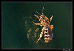 Halictus quadricinctus (cquintin) Tags: arthropoda hymenoptera halictidae halictus quadricinctus macroinsectes