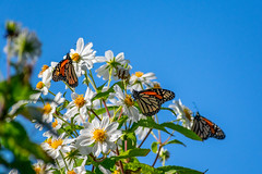 Monarch Butterflies (Eric Bloecher) Tags: monarch butterfly butterflies migration insect insects bugs animals animal wildlife бабочка бабочки white flower flowers leaf leaves sanctuary pacific grove california