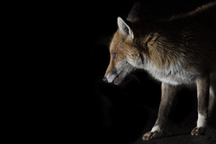 Urban foxes (Thomas Winstone) Tags: urbanwildlife urbanfox fox canonuk canon 300mm28mk2 mammal mammals canon1dxmark2 uk outdoor urban wild wildlife nature 3lt my3leggedthing thomaswinstonephotography bbc springwatch bbcspringwatch nationalgeographic vulpesvulpes