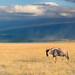 The Lone Blue Widebeest (Gnu), Amboseli National Park