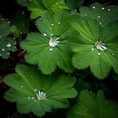 raindrops (marinachi) Tags: leaves raindrops water green closeup sundaylights lookincloseonfriday smileonsaturday thingswithteeth