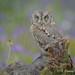 Perfect camouflage? (Dani (Atrus)) Tags: autillo autilloeuropeo otusscops eurasianscopsowl jdanielfernández españa elrincóndelosprotegidos spain aves birds naturaleza nikon