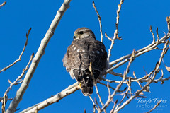 November 19, 2018 - A Merlin hangs out on the plains. (Tony's Takes)