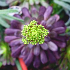 Aeonium arboreum 'Atropurpureum' (Purple Aeonium) (2080cronos1) Tags: succulent plant aeonium flower purple green bokeh garden botanical botany macro