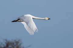Bewick's Swan (Simon Stobart) Tags: bewicks swan cygnus columbianus bewickii flying north east england uk