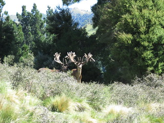 New Zealand Trophy Red Stag Hunting - Kaikoura 19