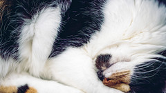 Sleeping fur (donnicky) Tags: cat closeup cute domesticanimal fillingtheframe fur furry indoors oneanimal pet publicsec sleeping wallpaper whiskers white лилу d850