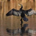 Young Cormorant. thumbnail