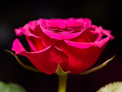 365.361 - Rose again (AmyGStubbs) Tags: 2018 27dec18 365the2018edition 3652018 day361365 e30 fl50 flash olympus rose sigma105mmf28exdgmacrofourthirds