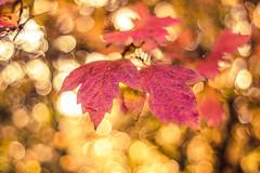 Soleil d'automne (Un instant.) Tags: pentacon m42 28 autumn look bokehlove bokeh flou feuilles sun soleil