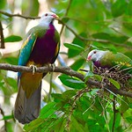 jewels of the rainforest: Wompoo Fruit-doves
