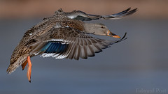 Mallard (Anas platyrhynchos) (ER Post) Tags: bird duck mallardanasplatyrhynchos hickorycorners michigan unitedstates us flight fly wings