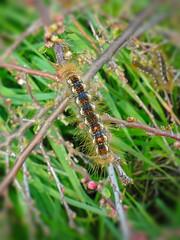 Chenille du cul-brun (euproctis chrysorrhoea) (pierre.pruvot2) Tags: invertébrés papillon sangatte chenille caterpillar butterfly france pasdecalais