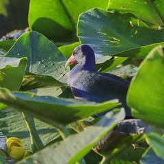 11-12-18-0041952 (Lake Worth) Tags: animal animals bird birds birdwatcher everglades southflorida feathers florida nature outdoor outdoors waterbirds wetlands wildlife wings
