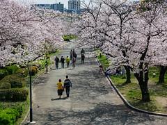 Osaka - Kema Sakuranomiya Park (Noti NaBox) Tags: japan japon osaka cherry blossom sakura sakuranomiya park parc cerisier fleur kema lumix lumixg80 lumixg85