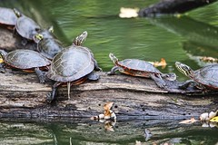 Traffic Is Awful (chauvin.bill) Tags: paintedturtles strickerspond tamron htt