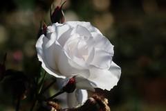Maria Mathilda     SDGD Berthiot Olor  f = 120mm  F : 5.7 (情事針寸II) Tags: 白 クローズアップ 自然 花 薔薇園 薔薇 closeup oldlens bokeh nature fleur flower white kasteelcoloma rosegarden rose sdgdberthiotolorf120mmf57
