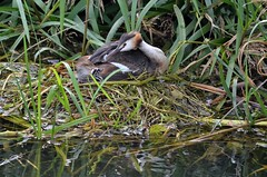 grèbe huppé_BEA_8132 (Bernard Fabbro) Tags: grèbe huppé great crested grebe bird oiseau eau couple nid water nest bébé baby plume nourriture
