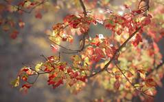 Autumn Fires Still Burn (Charles Opper) Tags: autumn canon canon6d canon70200mm fall georgia lakerabun rabunbeachrecreationarea bokeh color leaves light nature