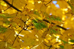 Turning Yellow (Joe Shlabotnik) Tags: foliage foresthills foresthillsgardens fall queens autumn 2018 november2018 afsdxvrzoomnikkor18105mmf3556ged faved explore