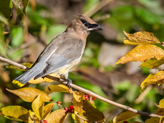 Cedar Waxwing (shooter1229) Tags: animal avian bird bombycillacedrorum bombycillidae cedarwaxwing contest heronpark nature outdoors wetlands wildlife bird20iocreplaceoldbirdlist