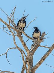 dsc9545-cuervo-po-corvus-albus-en-salary-madagascar_38624035972_o (Ramón Muñoz - Fotografía) Tags: madagascar fauna de animales parque nacional reserva cuervo pío corvus albus playa salary