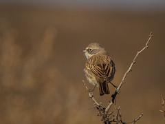 IMG_0251 (Sebastian Orue) Tags: birds birding nature texas animal bird tree tamron canon7d canon grassland biology conservation sagebrush sparrow