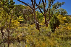 Greens and Yellows Across a Grassy Meadow and Trees (Capitol Reef National Park) (thor_mark ) Tags: azimuth242 blueskies canvas capitolreefnationalpark capitolreefpetroglypharea capturenx2edited centralutahplateaus colorefexpro coloradoplateau day2 fishlakeplateau grassyfield grassymarsh grassymeadow intermountainwest landscape lookingsw meadows nature nikond800e outside portfolio project365 sunny trees utahnationalparks2017 waynewonderland wildflowers yellowrabbitbrush ut unitedstates