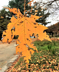 hanging in the bokeh (karma (Karen)) Tags: parkschool pikesville maryland leaves fallcolors dof bokeh hbw iphone