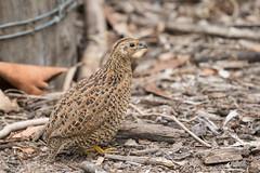 Quail Trail 6 (petefeats) Tags: australia birds brisbane brownquail coturnixypsilophora galliformes nature oxleycommon phasianidae queensland