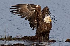 094A2178a4c - Bald Eagle (Sue Coastal Observer) Tags: baea haliaeetusleucocephalus baldeagle delta bc britishcolumbia canada bathing