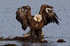 094A2171a4c - Bald Eagle (Sue Coastal Observer) Tags: baea haliaeetusleucocephalus baldeagle delta bc britishcolumbia canada bathing