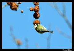 Mésange bleue (Cyanistes caeruleus) (cquintin) Tags: chordata vertebrata aves passeriformes paridae cyanistes caeruleus mésange