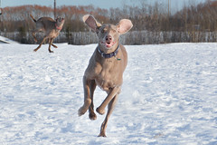 me and my silly sister (ruthinea) Tags: sisters weimaraner juno hanna snow silly littledoglaughedstories