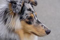 sheltie (JosjeToby) Tags: shelties sheltie shetlandsheepdog shetlandsheepdogs sheltlandsheepdog sheepdog dogs dog pets pet profile sonya6000 bokeh bokehandblur