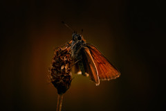 Schuff (♥ ⊱ ╮Juergen ╭ ⊰ ♥) Tags: wildlife nature butterfly skipper meadow plant