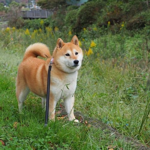 The World's newest photos of akita and animal - Flickr Hive Mind