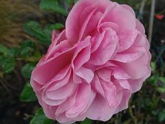 Rose (Gartenzauber) Tags: floralfantasy