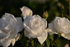 Rose 'Mrs.Charles Lamplough' raised in North Ireland (naruo0720) Tags: rose englishroses mrscharleslamplough englishrosescollection bredbysamuelmcgredyii mcgredysrose バラ イギリスのバラ ミセスチャールズランプロウ マグレデーのバラ イギリスのバラコレクション nikonscamera sigmalenses d610 sigma150mmf28apo